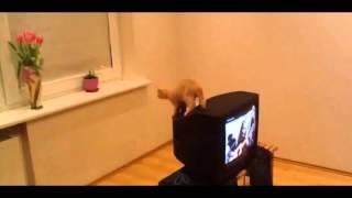 кошка прыжок не удается, кошка на телевидении не может прыгать и падает