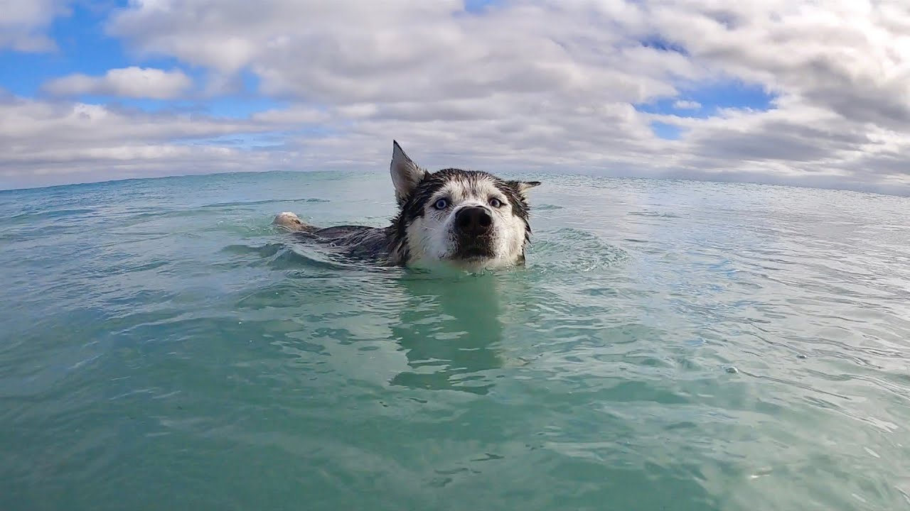 My Husky Swims at The Beach!