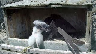 Michelle the hero saves her chick! Great Spirit Bluff Falcons. 11.00 / 28 May 2017