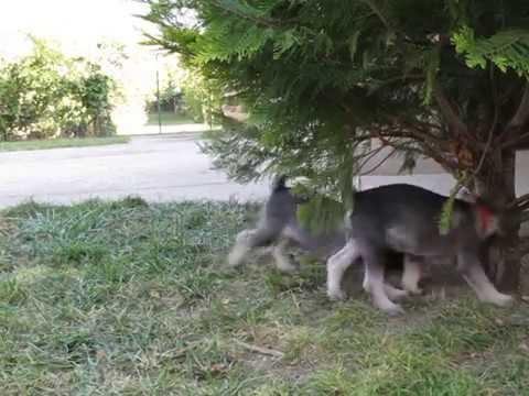 Standard schnauzer puppies playing
