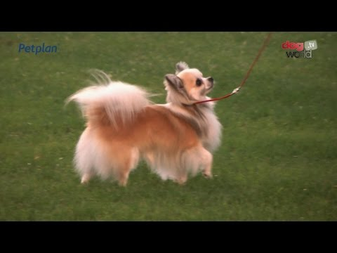 Darlington Dog Show 2015 - Toy FULL