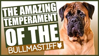 Amazing TEMPERAMENT Of The BULLMASTIFF