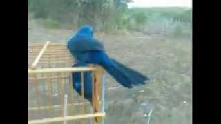 azulão gladiador pegando pelo pé