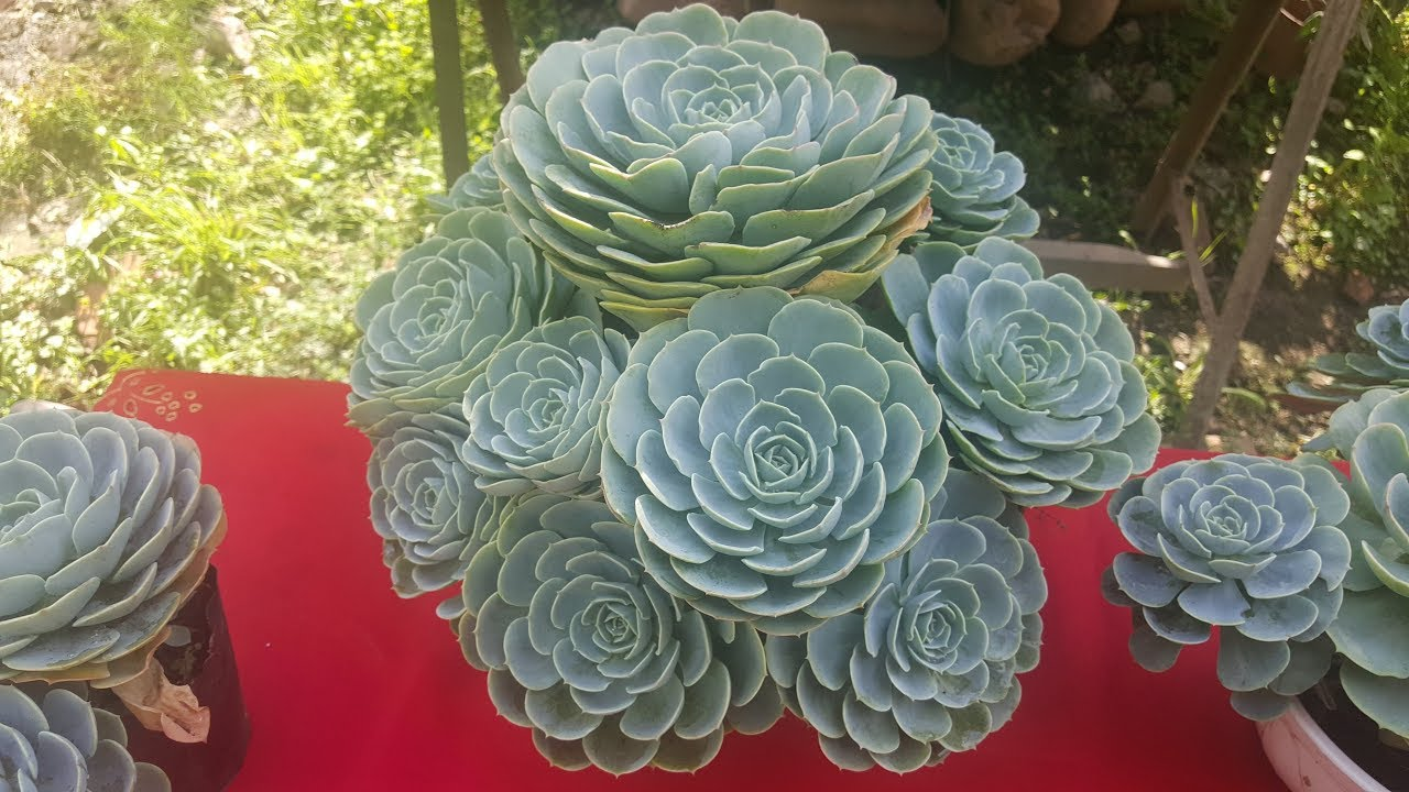 Echeveria Elegans Flor
