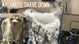 140 Pound Malamute Shave Down | Tried To Save The Coat [CC]