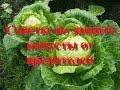 Самый легкий способ защиты капусты от вредителей: бабочка капустница