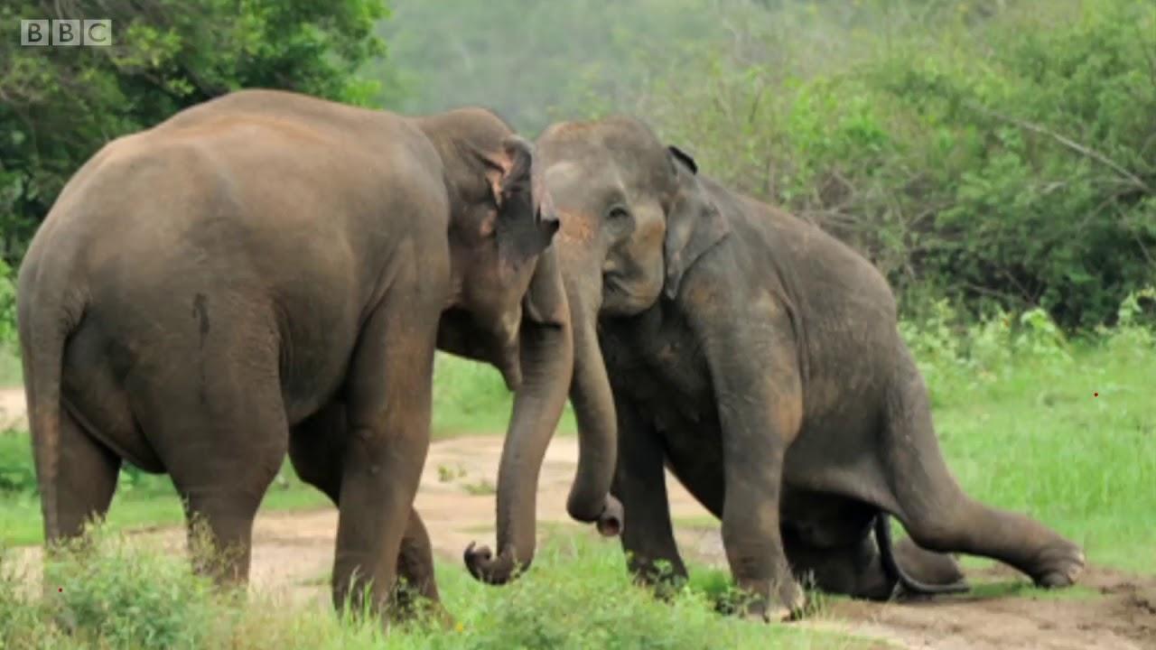 O Tocante Momento Em Que Elefantes Lamentam Morte De Líder