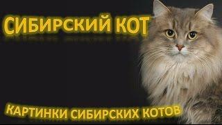 Сибирские коты: роскошь и лень