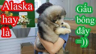 Alaska hay là Gấu bông đây bà con - Mới 2 tháng mà như cục bông ôm sướng gì đâu =)) PUGK PET
