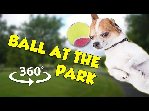 Playing with Chihuahua at the Park - 360 VR experience