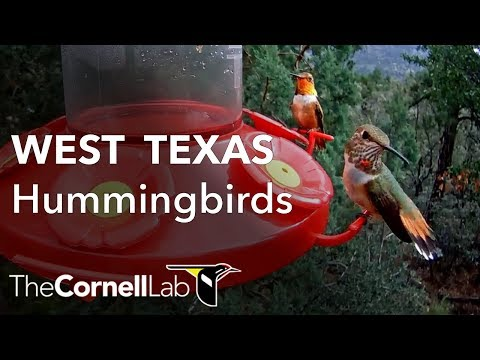 West Texas Hummingbird Cam, Sponsored by Perky-Pet