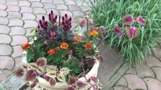 видео Самые неприхотливые декоративные кустарники