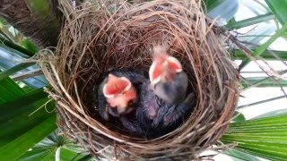 Gambar cover Sound of a frightening bird on Day 7 - Baby birds (Yellow-vented Bulbul)