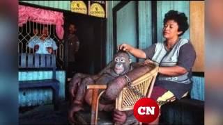 Рабочие в Борнео брили самку орангутана и использовали как секс-рабыню