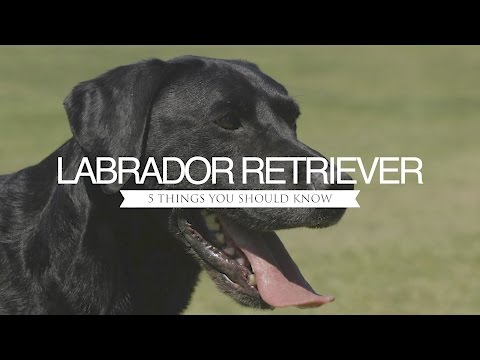 labrador-retriever-five-things-you-should-know