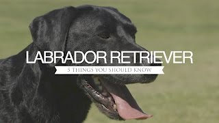 LABRADOR RETRIEVER FIVE THINGS YOU SHOULD KNOW