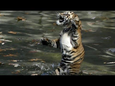 Kaplan yavrularının ilk yüzme dersi