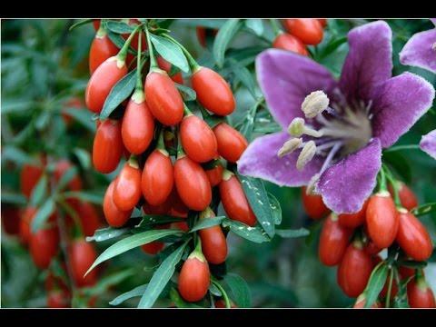 *Goji Berry Plants* +Proven Winner+Gojiberry Plants+2017+