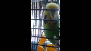 Всё про волнистых попугаев