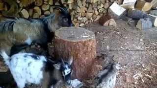 3 kozy pod wiatą