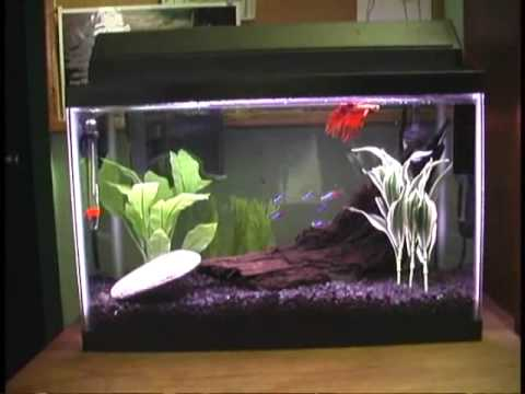 Gallon Betta Neon Community Fish Tank   YouTube