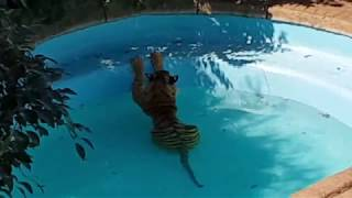 This is how a tiger climbs into a pool !