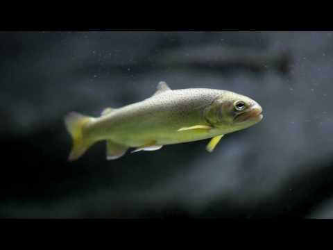 Apache Trout Facts and Information at OdySea Aquarium in Scottsdale, Arizona