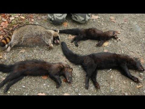 Trapping 2016 Highlights - Fisher, Raccoon, Mink, and More [GRAPHIC]
