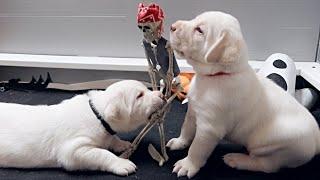 Labrador Puppy Halloween Party!