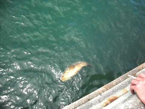 Skyway fishing pier giant grouper youtube for Skyway fishing report