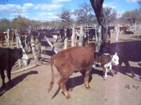 Carbon sintomatico en bovinos