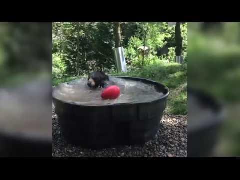 Oregon Zoo's Takoda takes a bear bath
