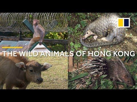 Bright lights, big city, wild animals: Hong Kong's wildlife