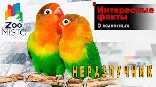 Неразлучники   Интересные факты о виде птиц