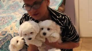 Coton de Tulear Puppies For Sale - Mika 8/10/21