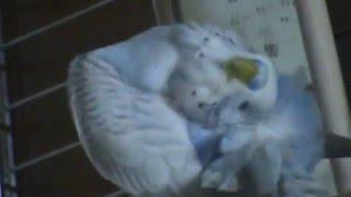 Красивое видео про волнистого попугайчика. Чистюля #Волнистыйпопугайчик