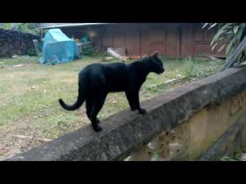 Mèo đen - Black Cat (comics) - Nhọ nhem