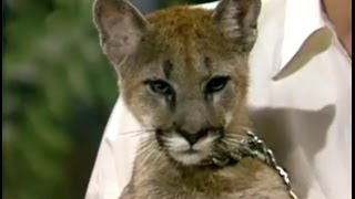 Baby Mountain Lion Stares Down Johnny Carson Apr 1986 Part 3