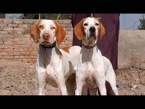 #PeshawarDogCenter #English #Pointer #Dog.. #Shortvideo #subscribe #My #youtube #cennel
