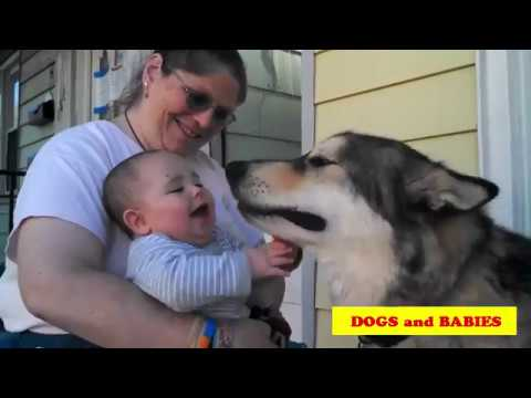 Alaskan Malamute Dog Playing And Showing Love To Babies Compilation - DOGS AND BABIES