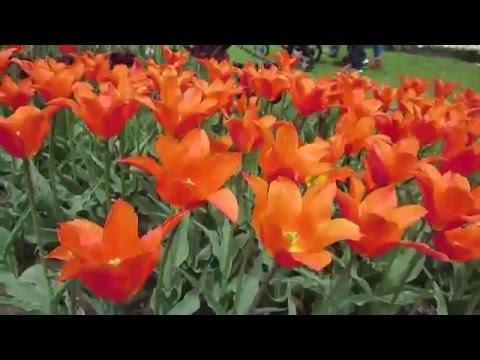 The Albany Tulip Festival in Washington Park, Albany, New York, USA