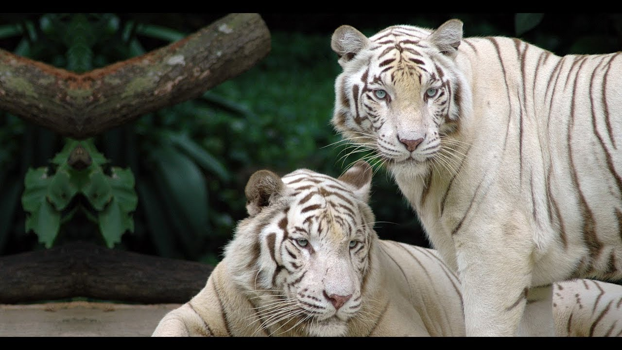 World's First White Tiger Safari & Zoo, Mukundpur