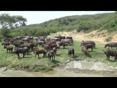 Uganda Safari 2016 - Pearl of africa (with HABARI TRAVEL)