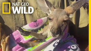 Rescued Baby Kangaroo Chills in a Homemade Pouch | Nat Geo Wild