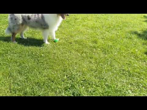 Колли мраморный (5 месяцев)