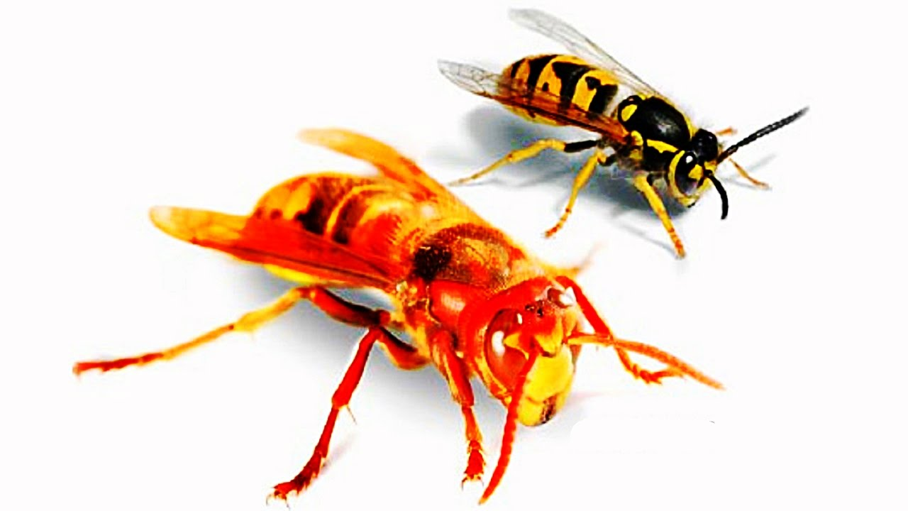 the dangerous myth of wasp and hornet spray for self defense youtube