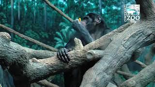 World Bonobo Day - Cincinnati Zoo