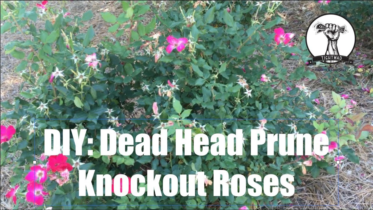How to trim a rose bush - Diy How To Prune Or Dead Head Knockout Roses