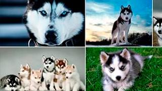 Хаски - Умная Собака