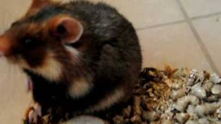 European hamster - Curiosity